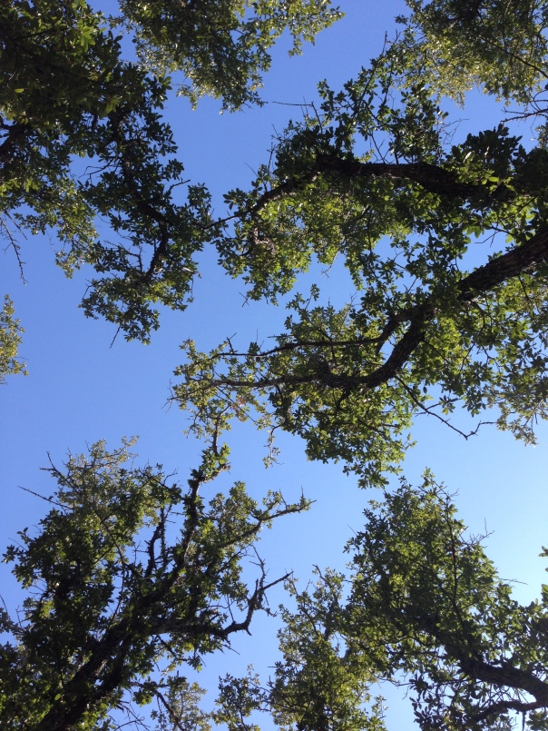 Supine View of Sky and Live Oak Trees