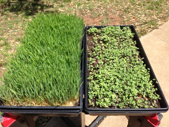 Wheatgrass and Microgreens