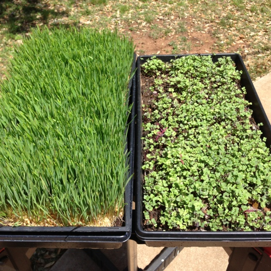 Wheatgrass and Microgreens