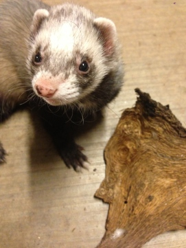 Post Oak Bark and Ferret